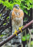 3rd – Sparrowhawk –Unknown