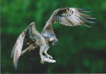 1st – Osprey – RaySanderson